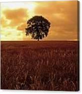 Oak Tree In A Barley Field, Ireland Canvas Print