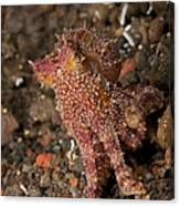 Ocellate Octopus With Two Blue Spots Canvas Print