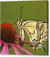 Oldworld Swallowtail Papilio Machaon Canvas Print