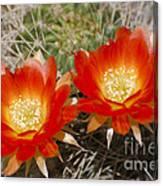 Orange Cactus Flowers Canvas Print