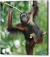 Orangutan Pongo Pygmaeus Adult Sitting Canvas Print