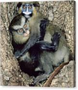 Orphaned Guenons Canvas Print