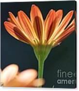 Osteospermum Named Sunadora Palermo Canvas Print