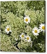 Ox-eye Daisies (leucanthemum Vulgare) Canvas Print