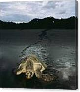 Pacific Ridley Turtle Lepidochelys Canvas Print