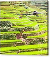 Paddy Rice Fields Canvas Print