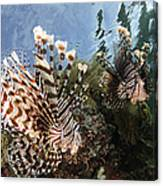 Pair Of Lionfish, Indonesia Canvas Print