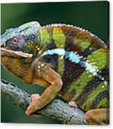 Panther Chameleon Chamaeleo Pardalis Canvas Print
