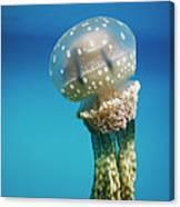 Papuan Jellyfish Mastigias Papua, Palau Canvas Print