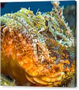 Papuan Scorpionfish Lying On A Reef Canvas Print