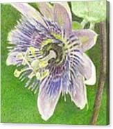 Passiflora Alatocaerulea Canvas Print