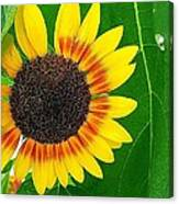 Peeping Sunflower Canvas Print