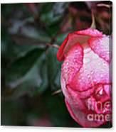 Peppermint Rose Canvas Print