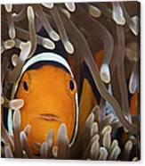 Percula Clownfish In Its Host Anemone Canvas Print