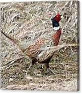 Pheasant Walking Canvas Print