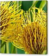 Picture Of A Pincushion Protea Canvas Print