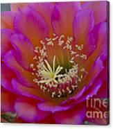 Pink And Orange Cactus Flower Canvas Print