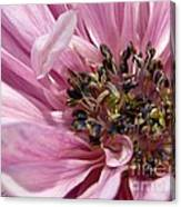 Pink Anemone From The St Brigid Mix Canvas Print