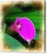 Pink Calla Canvas Print