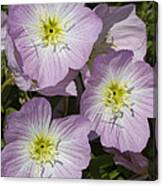 Pink Evening Primrose Wildflowers Canvas Print