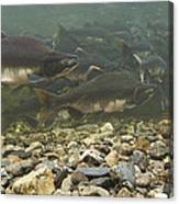Pink Salmon Oncorhynchus Gorbuscha Canvas Print