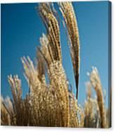 Pompas Grass 1 Canvas Print