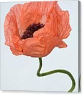 Poppy (papaver Sp.) Canvas Print