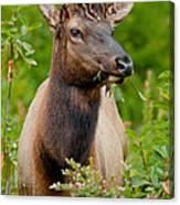 Portrait Of A Bull Elk Canvas Print