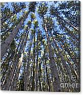 Power In Pines Canvas Print
