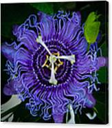 Purple Flower 1 Canvas Print
