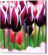 Purplish Tulips Canvas Print