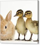 Rabbit And Ducklings Canvas Print
