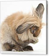 Rabbit Grooming Canvas Print