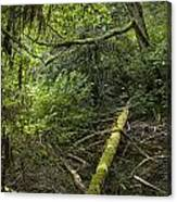 Rain Forest On Vancouver Island Canvas Print