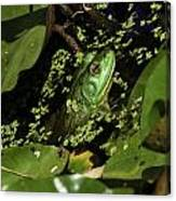 Rana Clamitans Or Green Frog Canvas Print