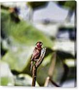 Red Faced Canvas Print