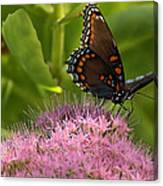 Red Spotted Purple Butterfly On Sedum Canvas Print