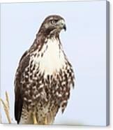 Red-tail Hawk  Canvas Print