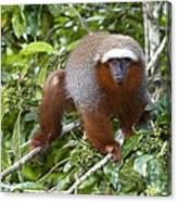 Red Titi Monkey Canvas Print
