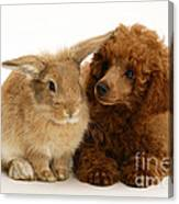 Red Toy Poodle And Rabbit Canvas Print