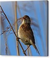 Reed Warbler Canvas Print
