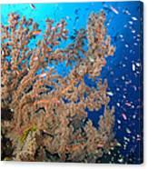 Reef Scene With Sea Fan, Papua New Canvas Print