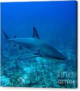 Reef Shark Canvas Print