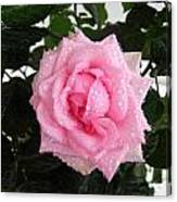 Rose With Droplets And Green Leaves Canvas Print