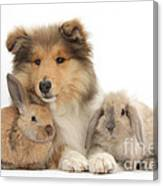 Rough Collie Pup With Two Young Rabbits Canvas Print