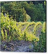 Rows Of Grapevines At Sunset Canvas Print