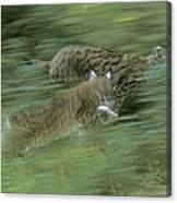 Running Lynx Canvas Print