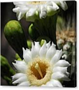 Saguaro Blooms  Canvas Print