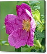 Salt Spray Rose Flower (rosa Rugosa) Canvas Print