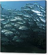 School Of Trevally Swimming By, Bali Canvas Print